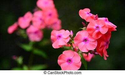 beautiful coral phlox on a bed - A beautiful coral phlox on...