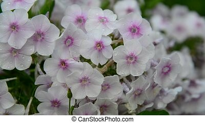 White abundant flowering phlox in large - White abundant...