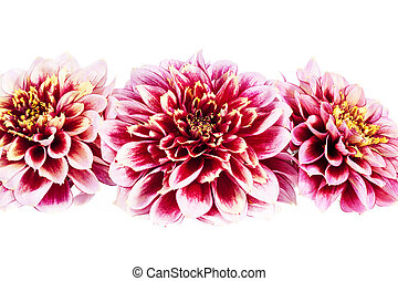 Red flowers of aster isolated on white background, close up.
