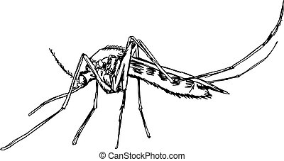 illustration vector doodle hand drawn of  sketch mosquito isolated on white background.