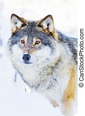Wolf stands in beautiful winter landscape - One wolf...
