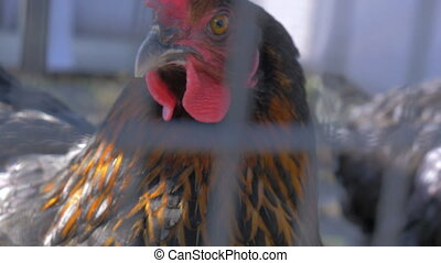 Closeup of the head of the cock that walks in the cage....