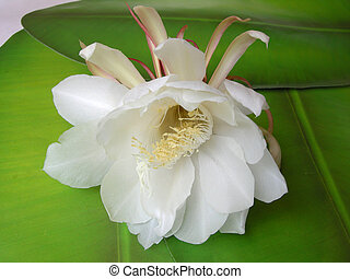 Queen of the night Brahma Kamal Twelve - The Bramha Kamal is...