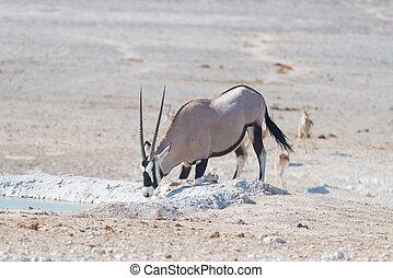 Oryx kneeling and drinking from waterhole in daylight...