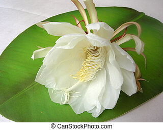 Queen of the night Brahma Kamal Eleven