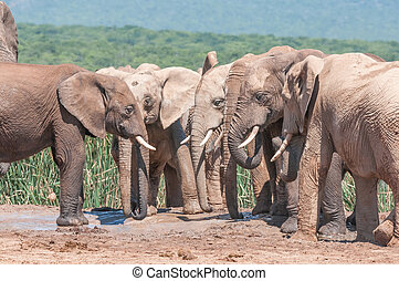 Congregation of mud covered elephants - A congregation of...