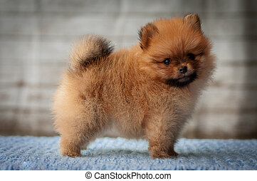 Close Up Portrait of small red Spitz Dog