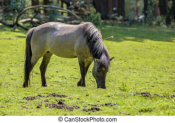 Tarpan - Example of the now extinct Tarpan (Equus ferus...
