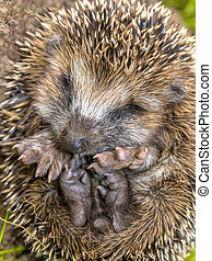 Sleeping Hedgehog Baby close up - Hedgehog Erinaceus,...