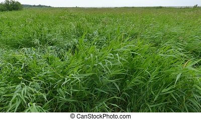 Green Reeds Swaying in a Strong Wind