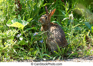 Cottontail Rabbit - Sylvilagus feeding in morning sun