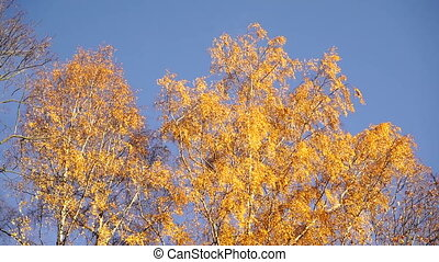 Russian tree birch in autumn.
