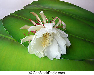 Queen of the night Brahma Kamal Eighteen - The Bramha Kamal...