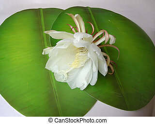 Queen of the night Brahma Kamal Twenty One - The Bramha...