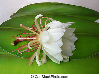 Queen of the night Brahma Kamal Twenty - The Bramha Kamal is...