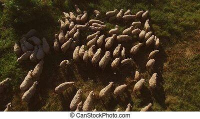 Flock of sheep on meadow. Herd of domestic animals. Sheep in...