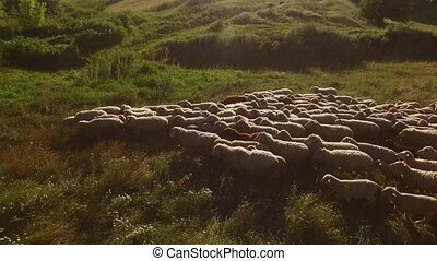 Sheep herd is walking. Sheep on a meadow. Grazing animals in...