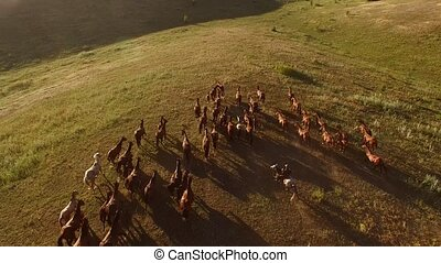 Horses running on huge meadow. Horseman and big herd. We are...