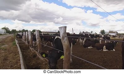 Cows are eating hay. Group of animals near fence. Livestock...