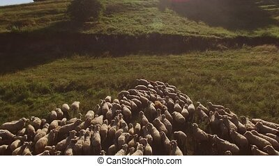 Large group of sheep. Animals stand on a meadow. Agriculture...