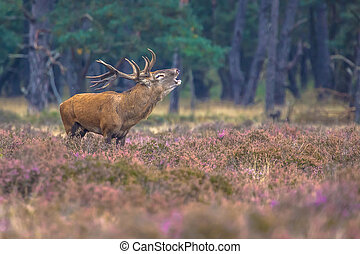 Roaring male Red deer in Heath - Roaring male Red deer...
