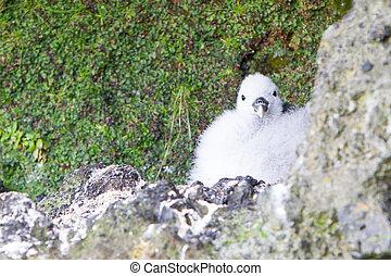 Chick of a Kittiwake on a nest