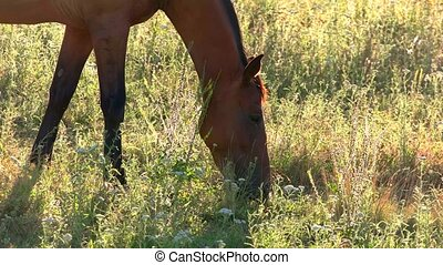 Horse is eating grass. Hoofed animal on a meadow. Young wild...