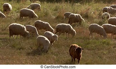 Sheep eat grass. Flock on the meadow. Herd is having dinner....