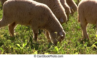 Lamb is eating grass. Hoofed domestic animal. Livestock bred...