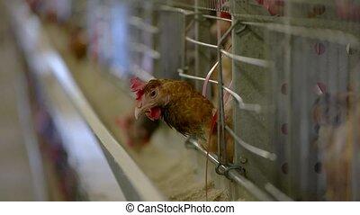 Hen inside a cage. Domestic bird in henhouse. Best...