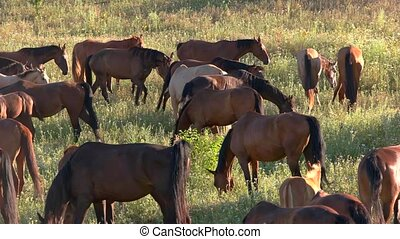 Herd of horses on meadow. Animals eat grass. Life in the...