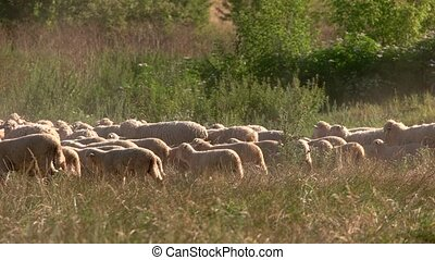 Flock of sheep. Domestic animals on the field. Pasture land...