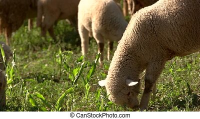 Lamb eating grass. Sheep on a meadow. Healthy nutrition for...