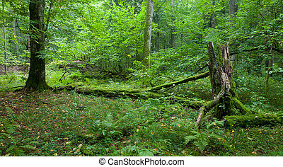 Natural deciduous stand of Bialowieza Forest - Old natural...