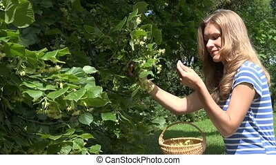 woman gather linden flowers herbs from tree branches to...