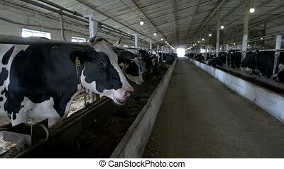 Herd of cows in stall. Animals are standing and chewing....