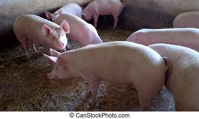 Pig is eating straw. Small group of piggies. Domestic...
