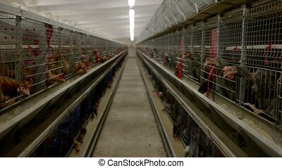 Rows of cages with hens.