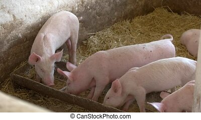 Pigs are eating from trough. Swines and yellow straw. Best...