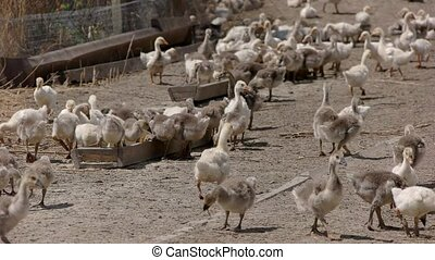 Geese near troughs with feed. Big herd of poultry. Breeding...