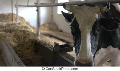 Cow in the stall. Domestic animal with a tag. Breeding...