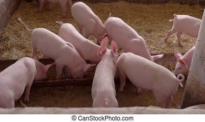 Pigs eating from a trough. Piggies walk on straw. Queue up,...