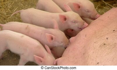 Pigs drink milk from sow. Group of small piggies. Young...