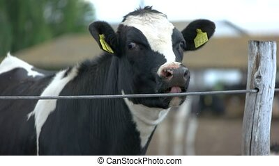 Cow near fence. Cattle with tag on ear. Animal that gives...