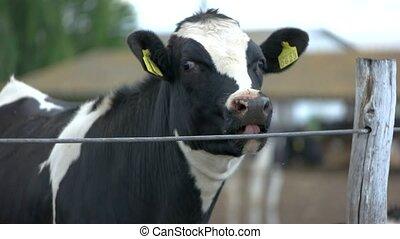 Cow near fence.