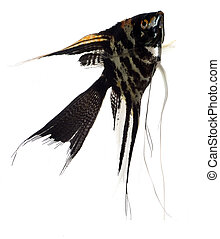 Scalar - Home animals Swimming scalar Pterophyllum scalare...