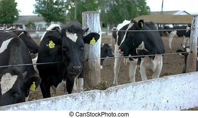 Cows near the fence. Livestock with tags on ears. Farm is...