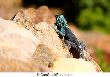 Southern rock agama soaking up the sun on Table Mountain,...