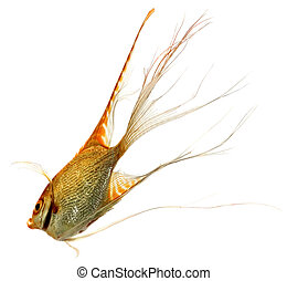 Scalar - Home animals. Swimming scalar (Pterophyllum...