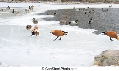 Feeding of wild ducks and ruddy shelducks in winter on ice...